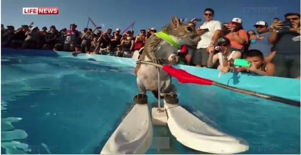 Белка с удовольствием катается на водных лыжах (1 видео + 3 гиф)