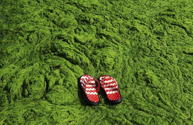Самое большое скопление водорослей в Китае