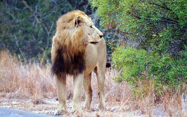 Львы убили антилопу прямо на шоссе