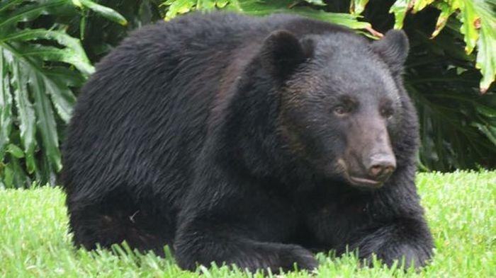 Медведь уснул на лужайке возле частного дома (3 фото)