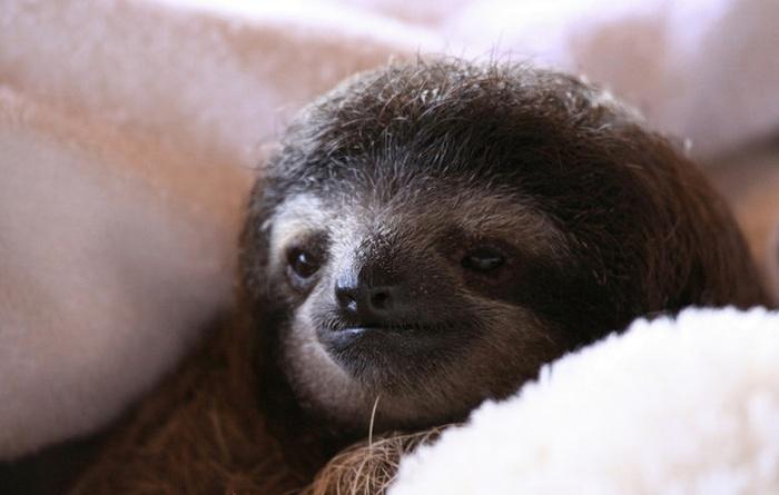 Занимательные факты о ленивцах (17 фото)
