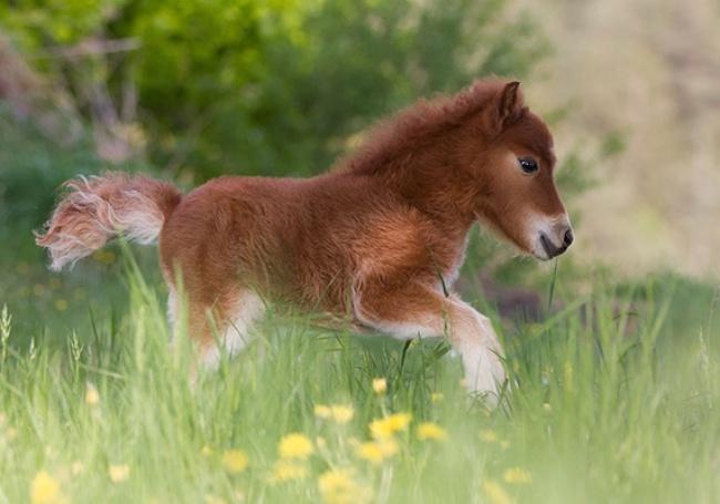 Забавные миниатюрные лошадки