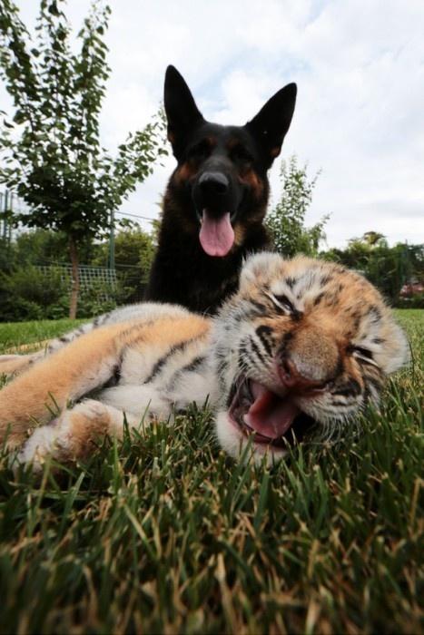Три собаки взяли под опеку тигренка