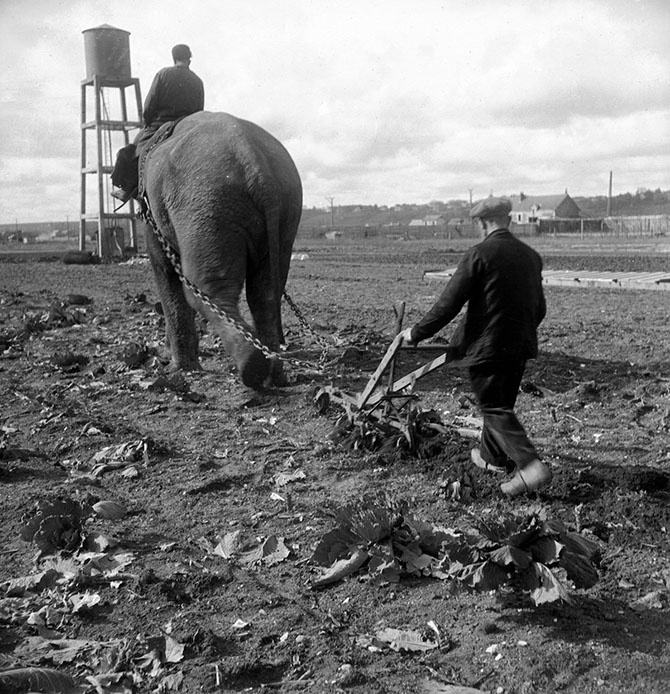 Как в военные годы слоны вспахивали поля
