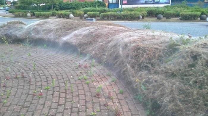 В Лондоне гусеницы покрыли паутиной кусты (4 фото)