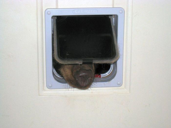В поисках съестного, медведь, застрял в кошачей двери (4 фото)