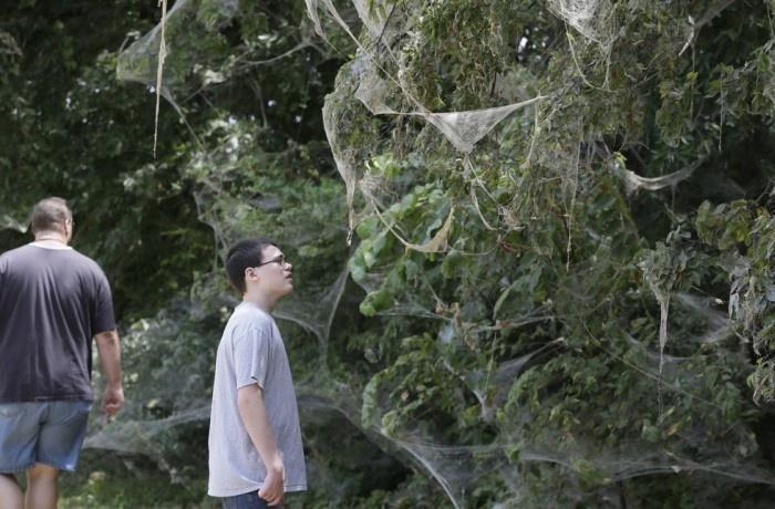 Пауки сплели гигантскую паутину (5 фото)