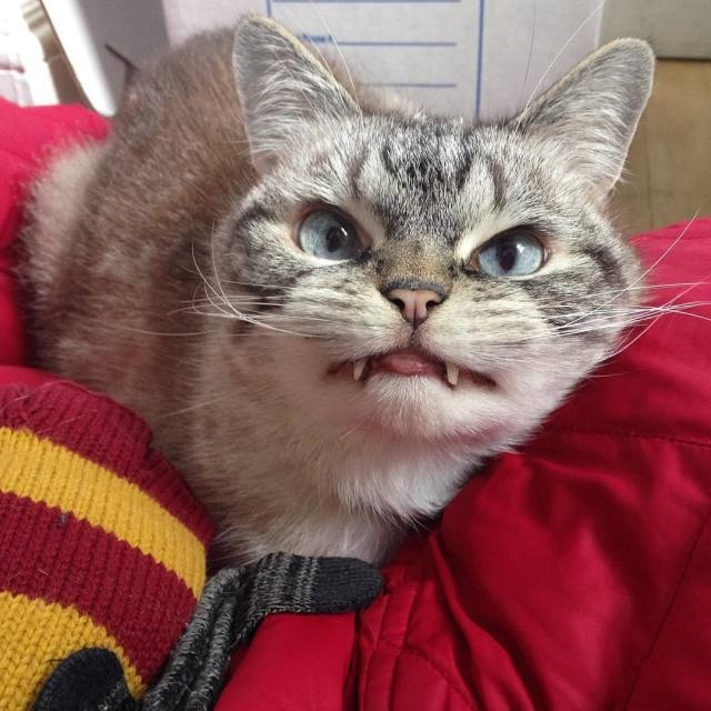 Звезда Instagramа – кот-вампир (19 фото)