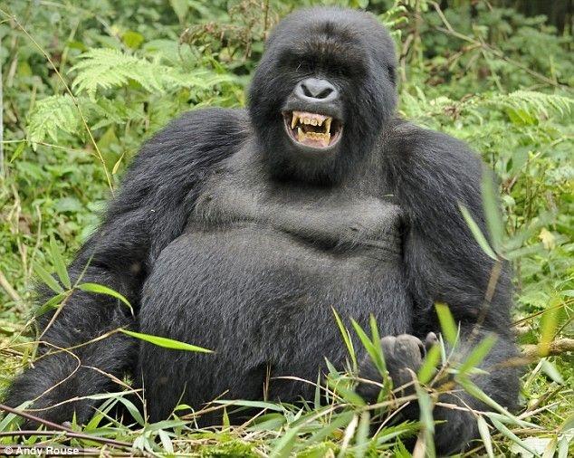 Секс человека с гориллой смотреть 6 фотография