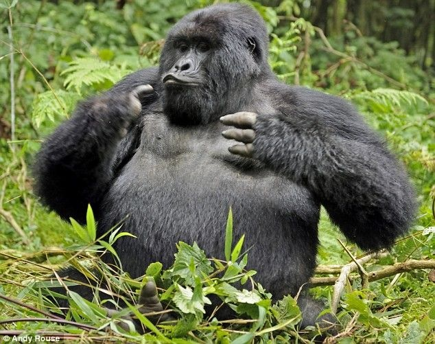 Фото забавной гориллы (6 фото)