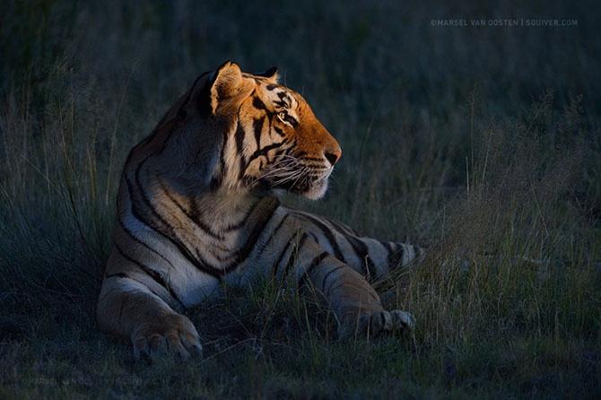 Необыкновенные фотографии тигров (22 фото)