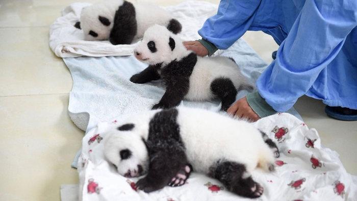 Новорожденные детеныши панды (16 фото)
