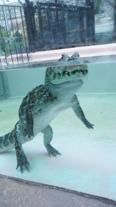 Что делает крокодил в этот самый момент? (3 фото)
