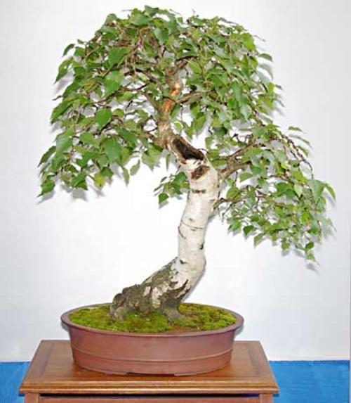 Несколько интересных фактов о деревьях бонсай (17 фото)