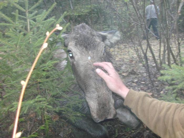 Спасение молодого лося (7 фото)