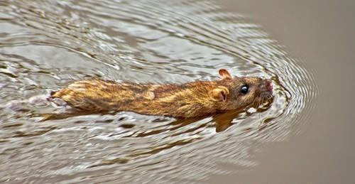 Любопытные факты о крысах (6 фото)