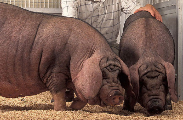 Животные, появившиеся на свет благодаря селекции (7 фото)