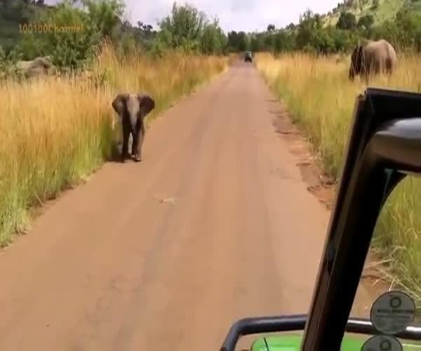 Слоненок нападает на автомобиль
