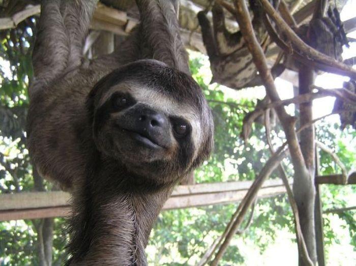 17 познавательных фактов о ленивцах