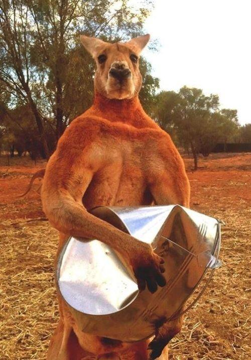 Битва кенгуру (3 гифки)