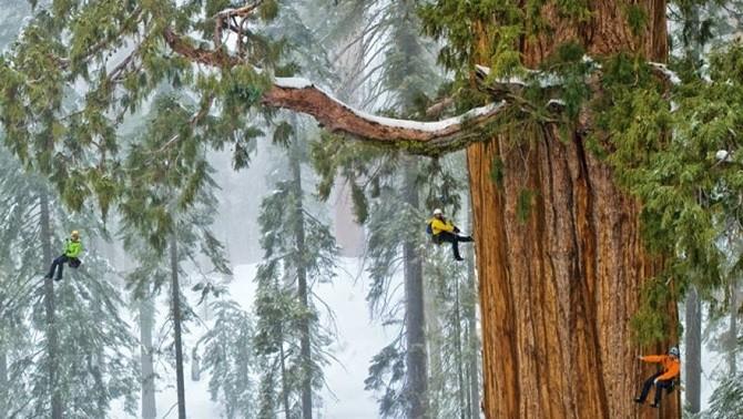 Громадное дерево, которое смогли заснять целиком за 32 дня