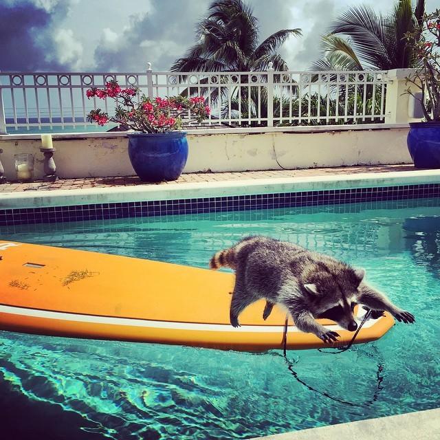 Енотиха, которая считает себя собакой (20 фото)