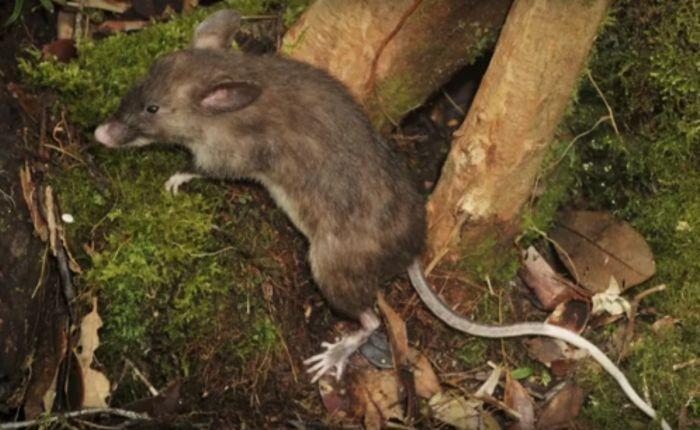 Новой вид грызунов обнаружили   в Индонезии (4 фото)