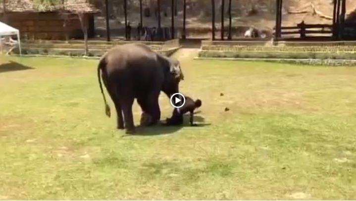 Реакция слона на избиение смотрителя