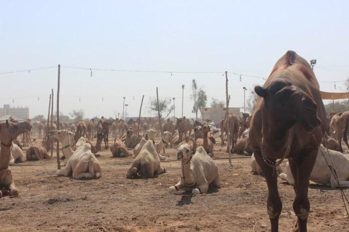 Стрижка верблюдов в Пакестане (7 фото)