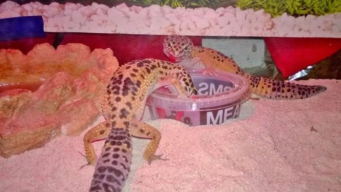 Парень вырастил детенышей ящерицы геккона (14 фото)