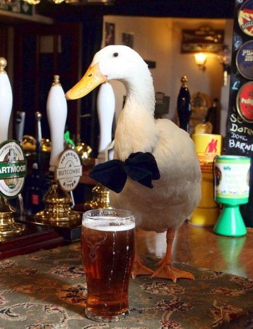 Утка, которая любит пиво, стала талисманом британского паба