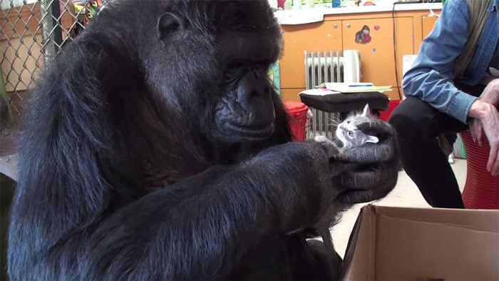 Воспитание котят поручили горилле по кличке Коко (7 фото)