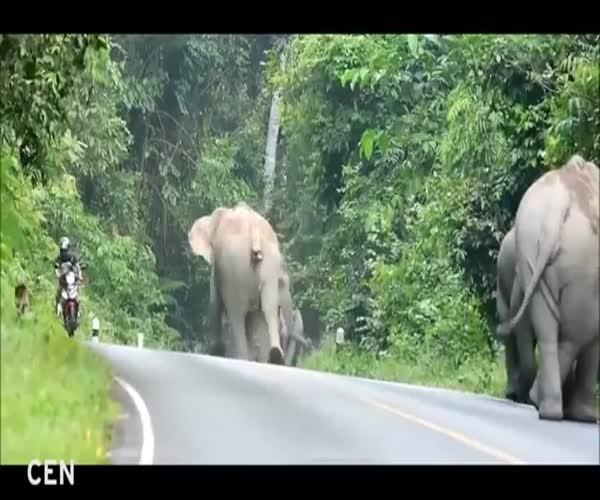 Не стоит обгонять слонов на мотоцикле