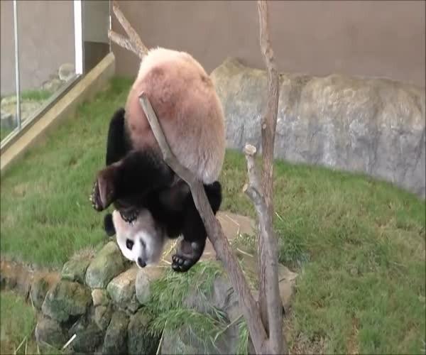 Панда застряла между веток