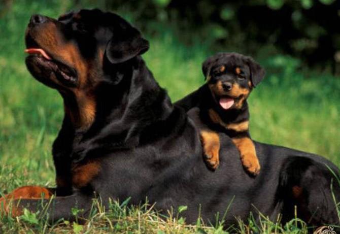 Породы собак, которые отличаются особой преданностью
