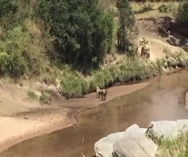 Неожиданно львица и гну меняются местами