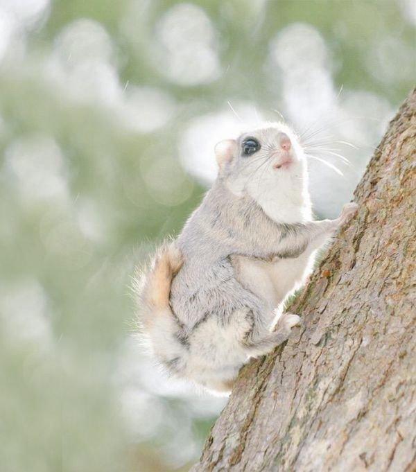 Необыкновенно милые белки-летяги (12 фото)