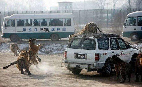 В Китае популярен аттракцион с тиграми  (5 фото)