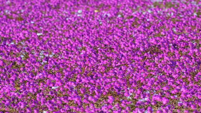В пустыне Атакама появились цветы, окрасившие ее в розовый цвет (14 фото)