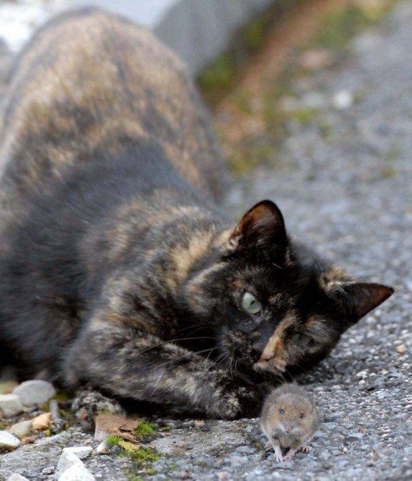 Кот поиграл с мышью и потом отпустил (14 фото)