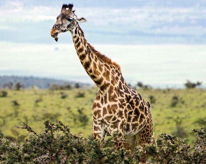 «Пернатый стоматолог» осматривает полость рта жирафа (6 фото)