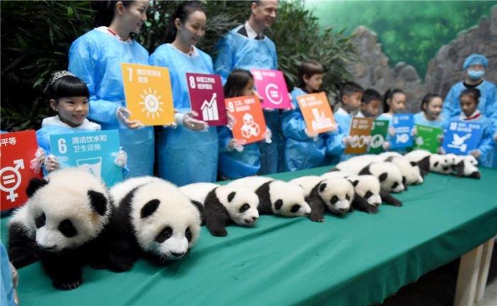 Заповедник панд перевыполнил план рождаемости (9 фото)