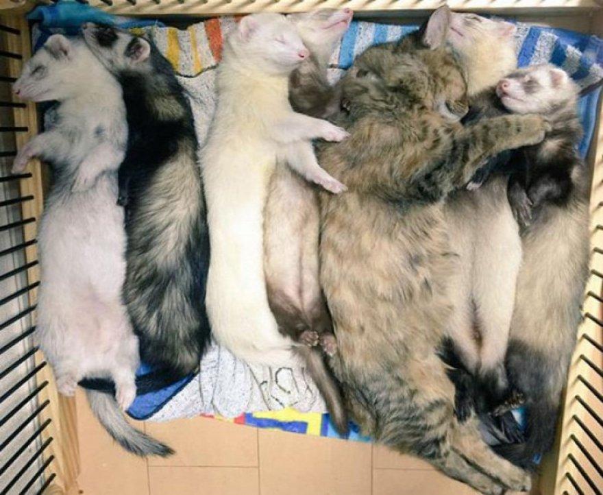 Котенок перенял образ жизни хорьков (12 фото)