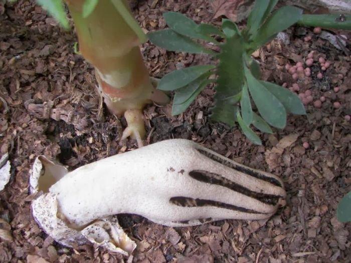 Гриб Антурус Арчера или «пальцы дьявола» (4 фото)