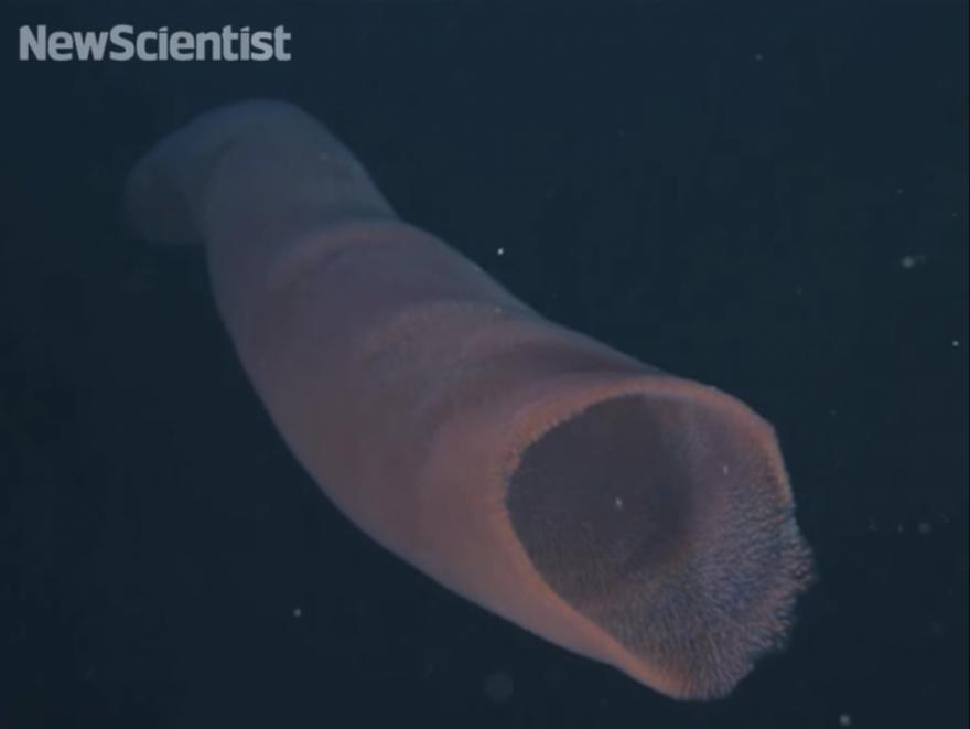 Обитатели подводного мира: пиросомы
