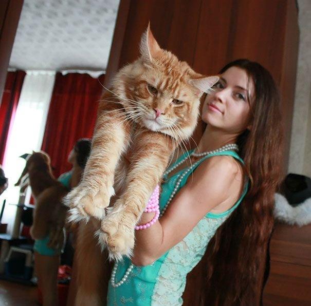 Самые крупные домашние кошки (29 фото)