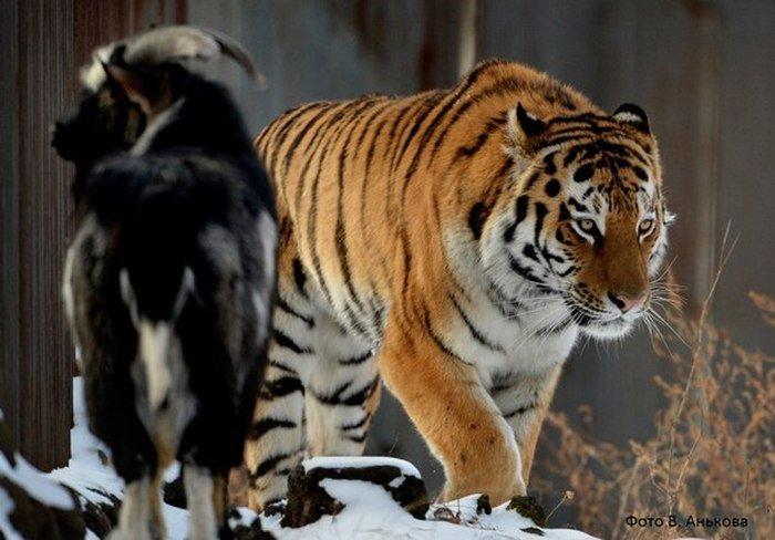 В Приморском сафари-парке тигра Амура решили расселить с козлом Тимуром (5 фото)