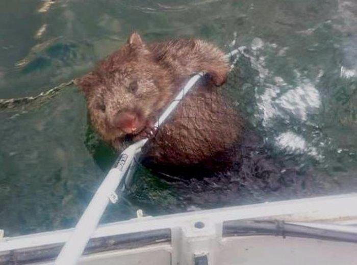Рыбаки спасли тонущего вомбата (3 фото)