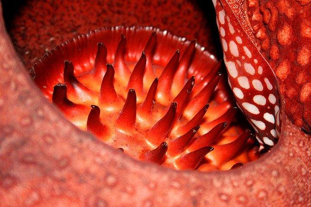 Необычный цветок раффлезия
