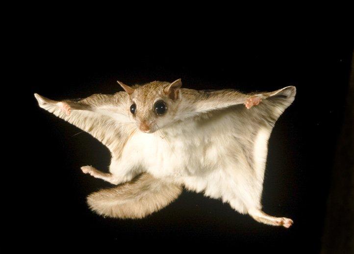 10 любопытных фактов о белке-летяге